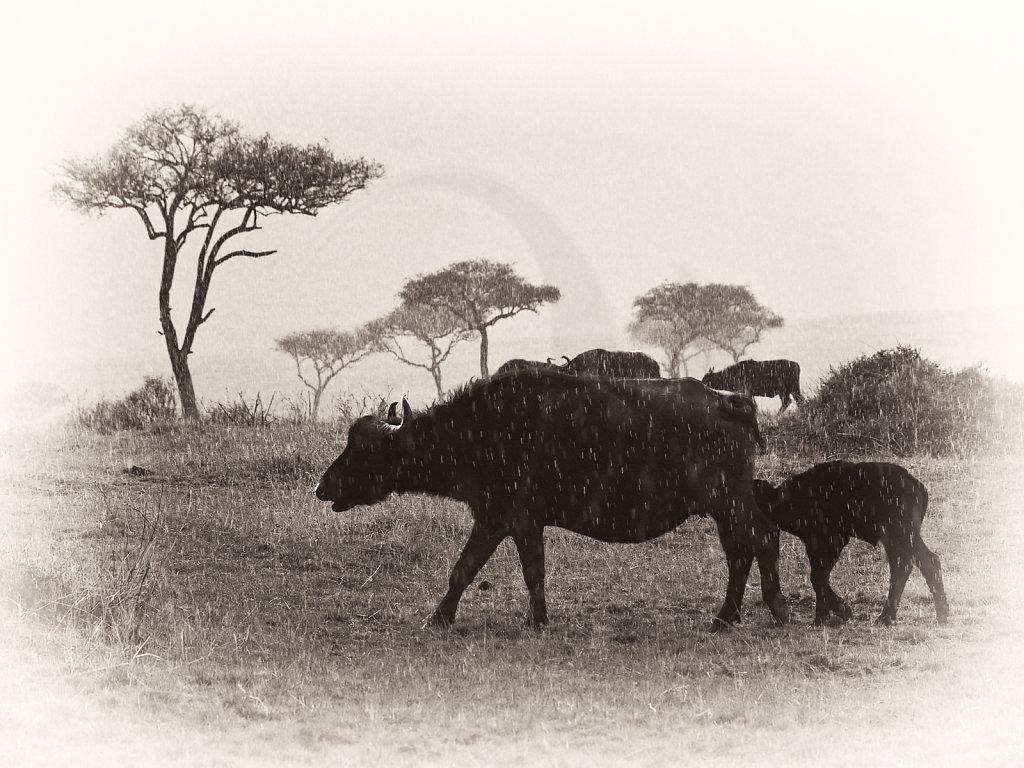 Savanna Buffalo, Syncerus caffer caffer