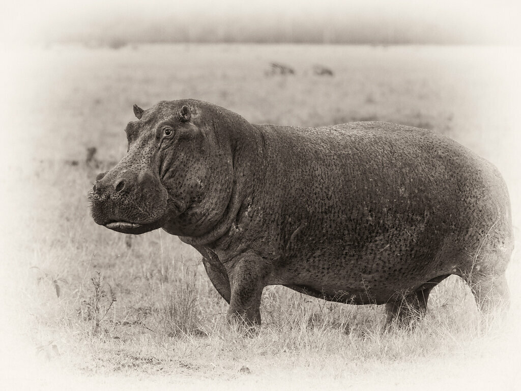 Hippopotamus, Hippopotamus amphibius