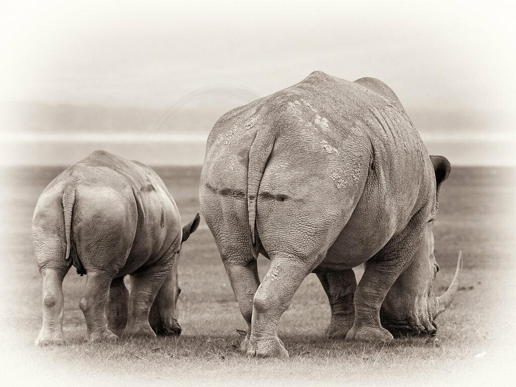 White Rhino, Ceratotherium simum