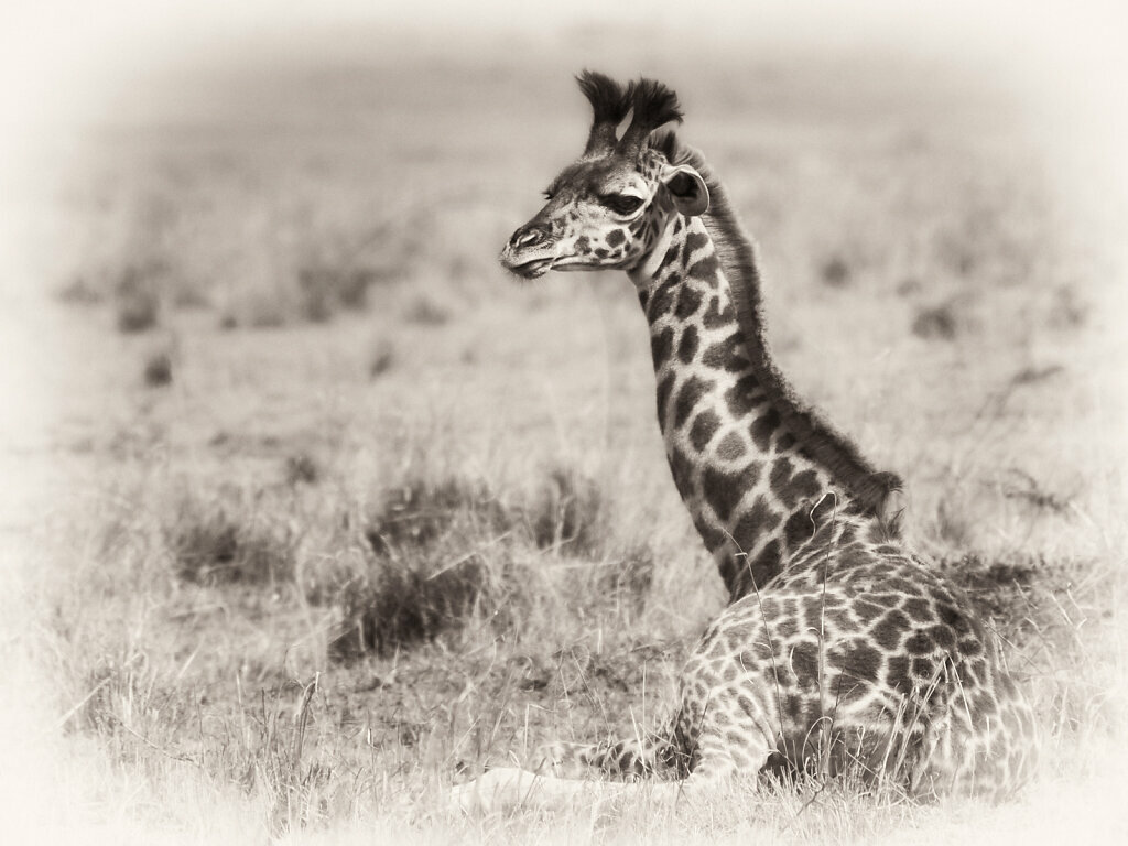 Kenya Giraffe, Giraffa camelopardalis tippelskirchi