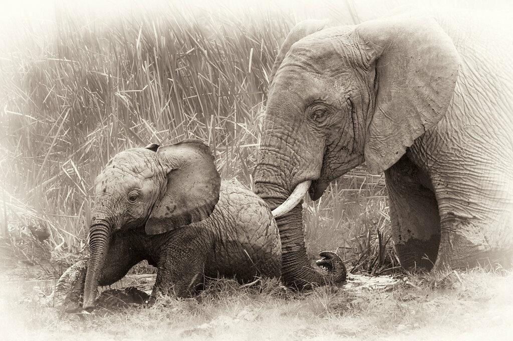 Elephants I, Loxodonta africana