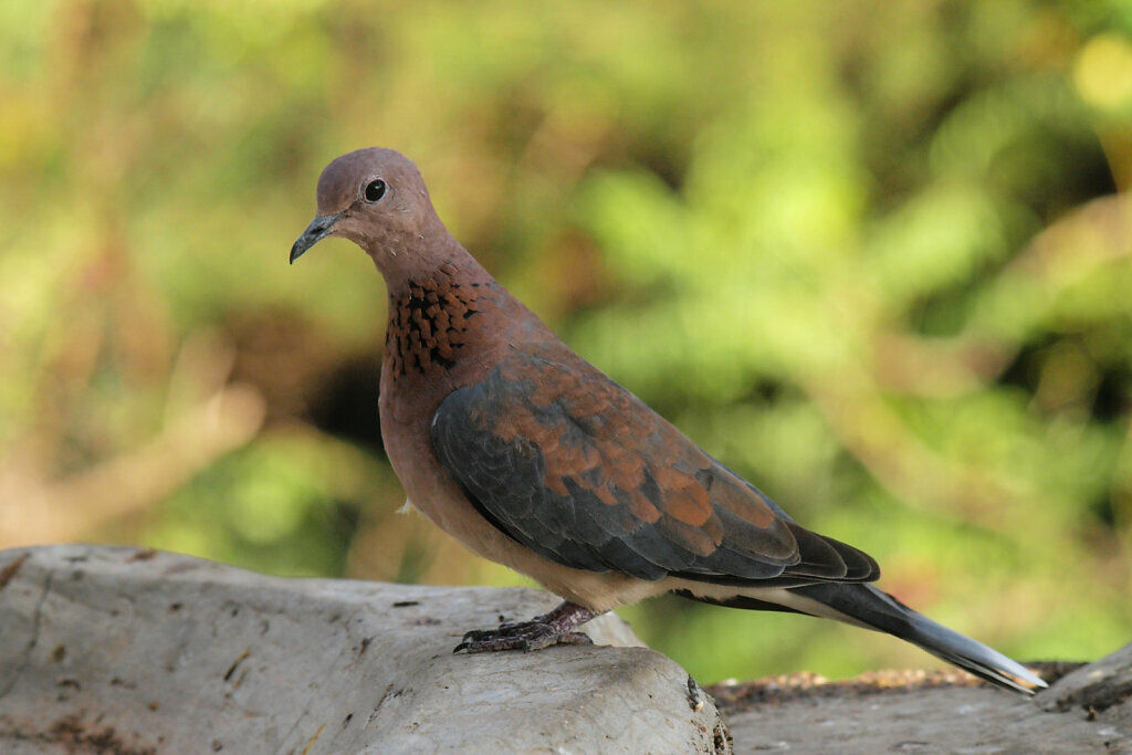 Laughing Dove (Streptopelia senegalensis)