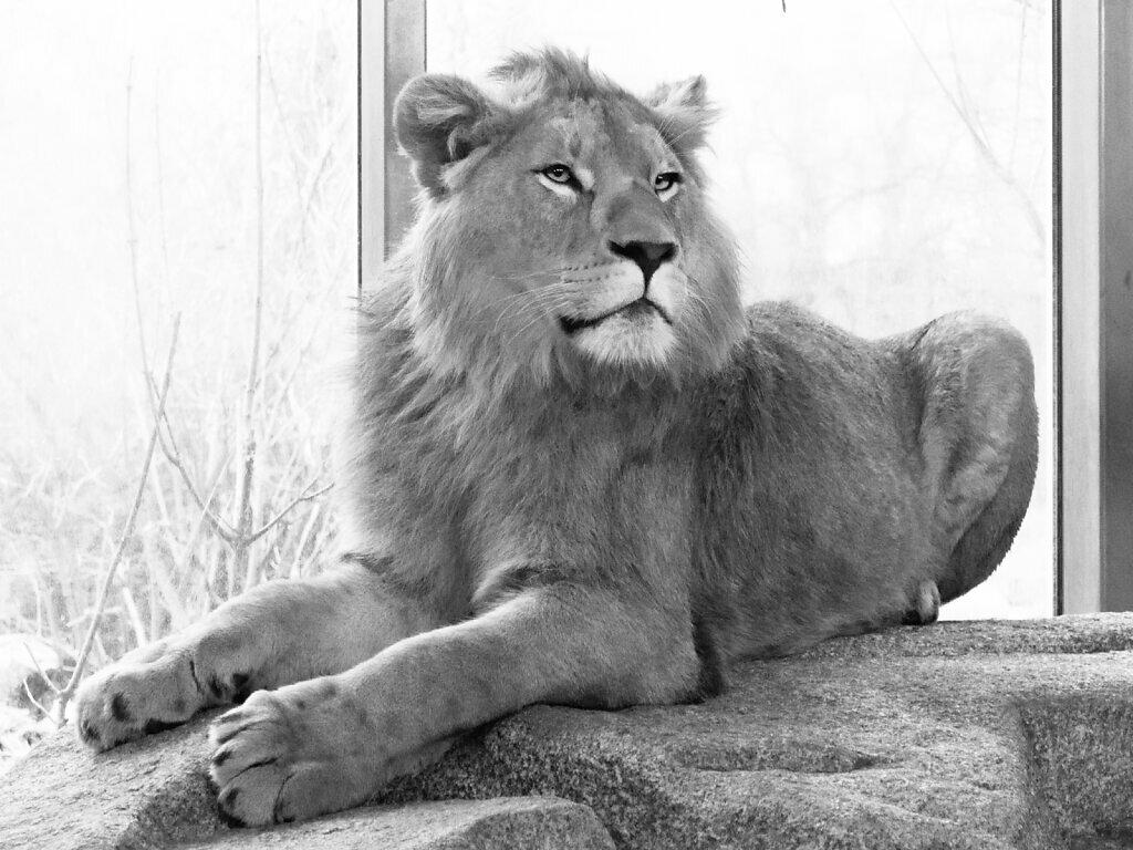 Max (Panthera leo)