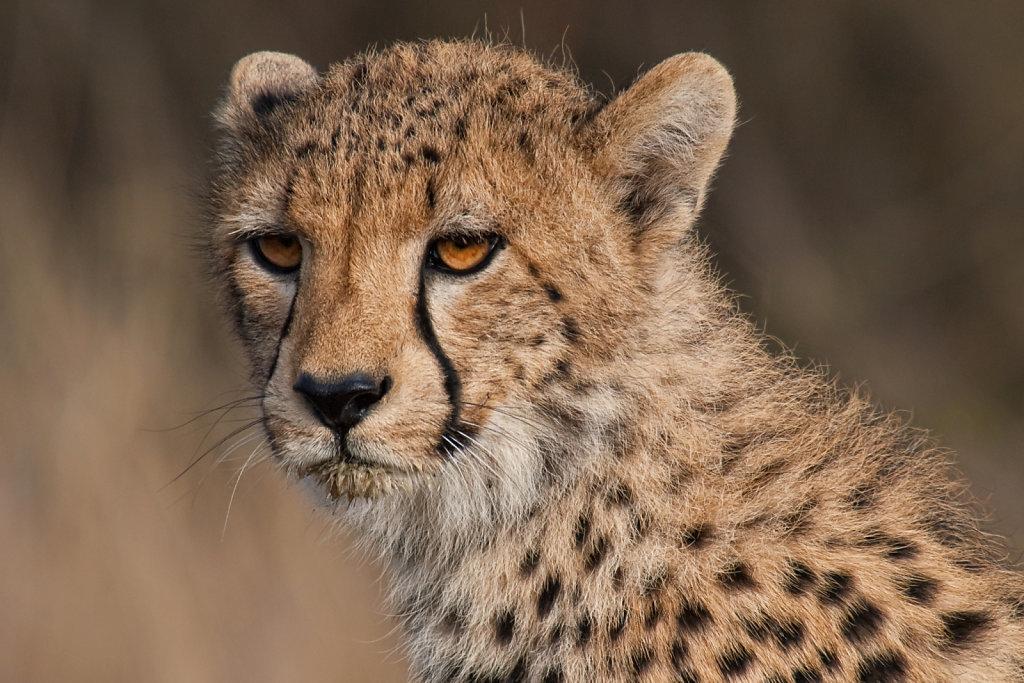 Another portrait of the cheetah cub (Acinonyx jubatus)