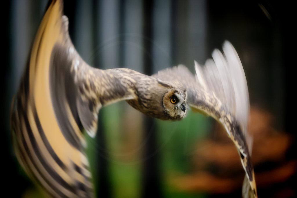 Long-eared Owl taking off