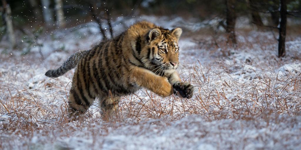 Jumping Tiger