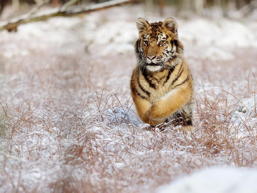 Tiger Tiger