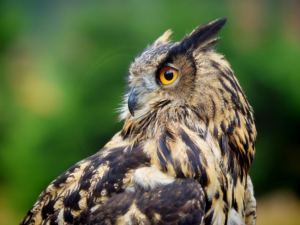 Atheno the Eagle Owl