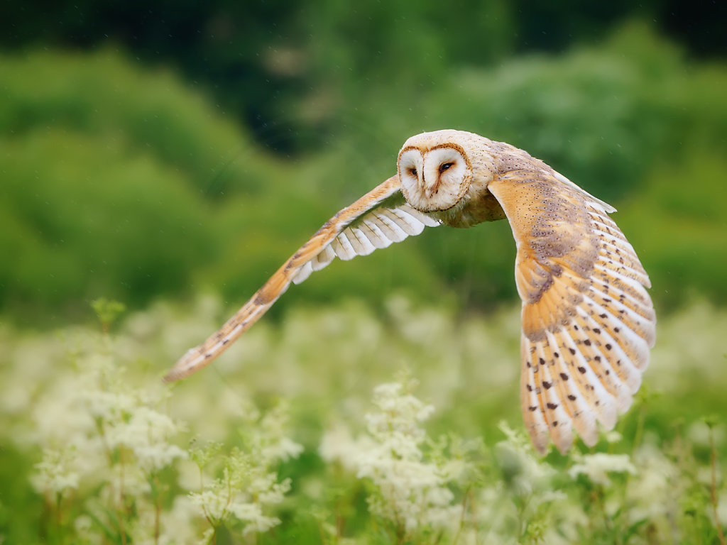 Barn Owl in flight I