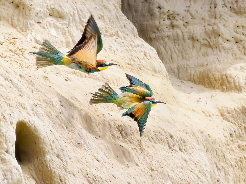 Bee-Eaters in Flight