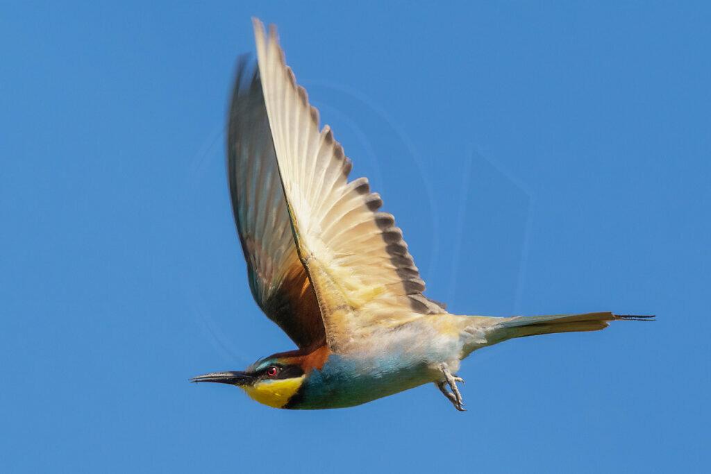 Bee-Eater in Flight II